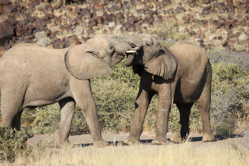 Desert Elephants, Namibia