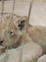 Lion Cub in Kruger National Park