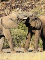 Namibia Safari, Desert Elephants
